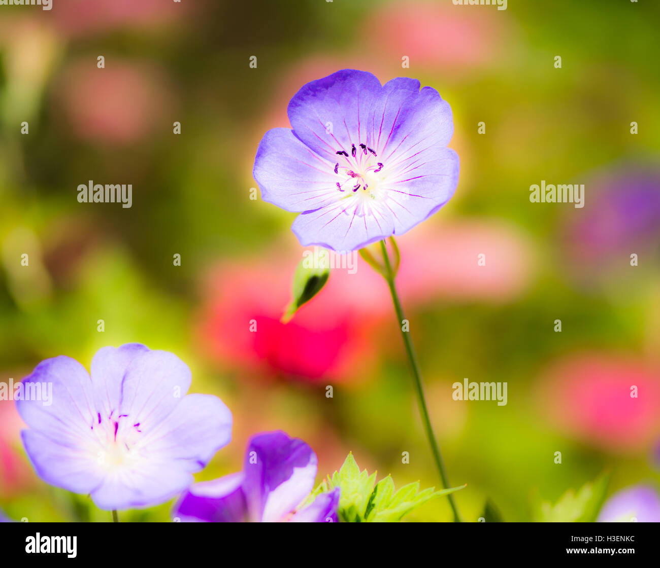 Macro of Geranium flower blossoms with selective focus - Stock Image