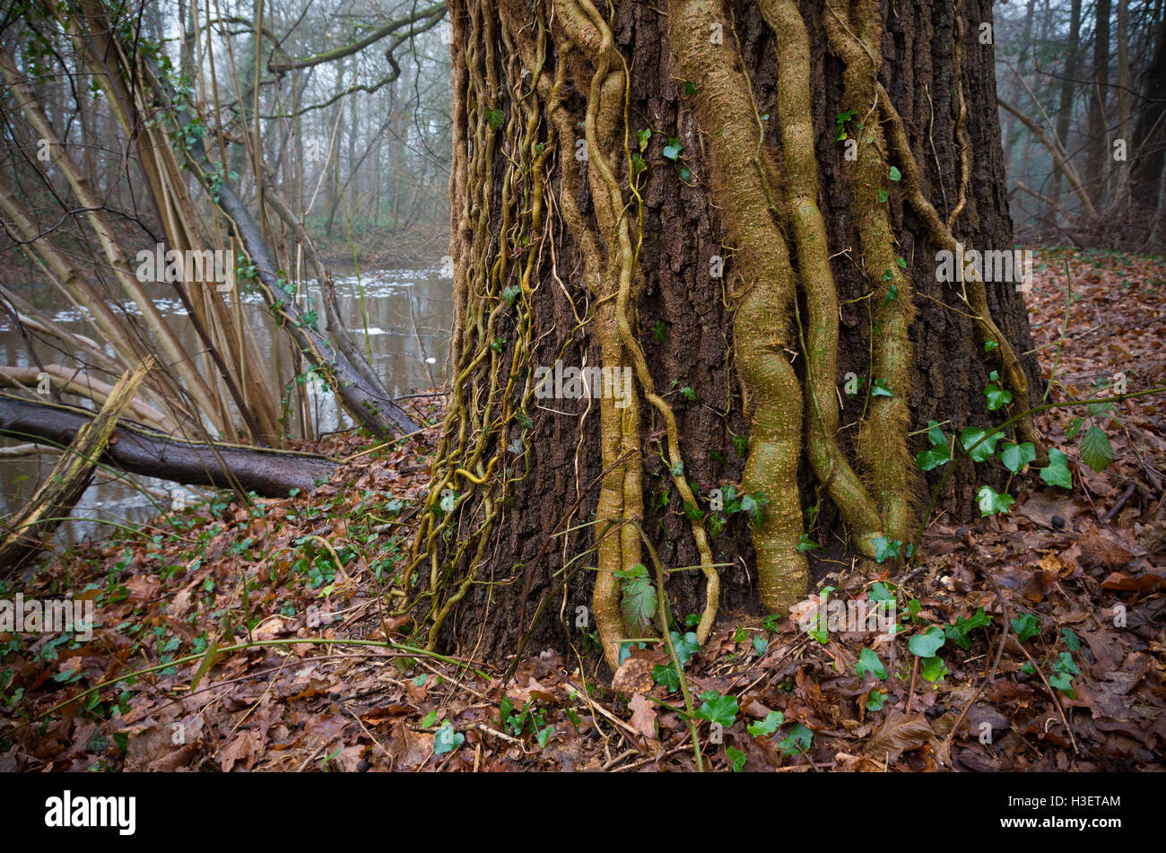 tree covered with ivy lianas in an autumn forest - Stock Image