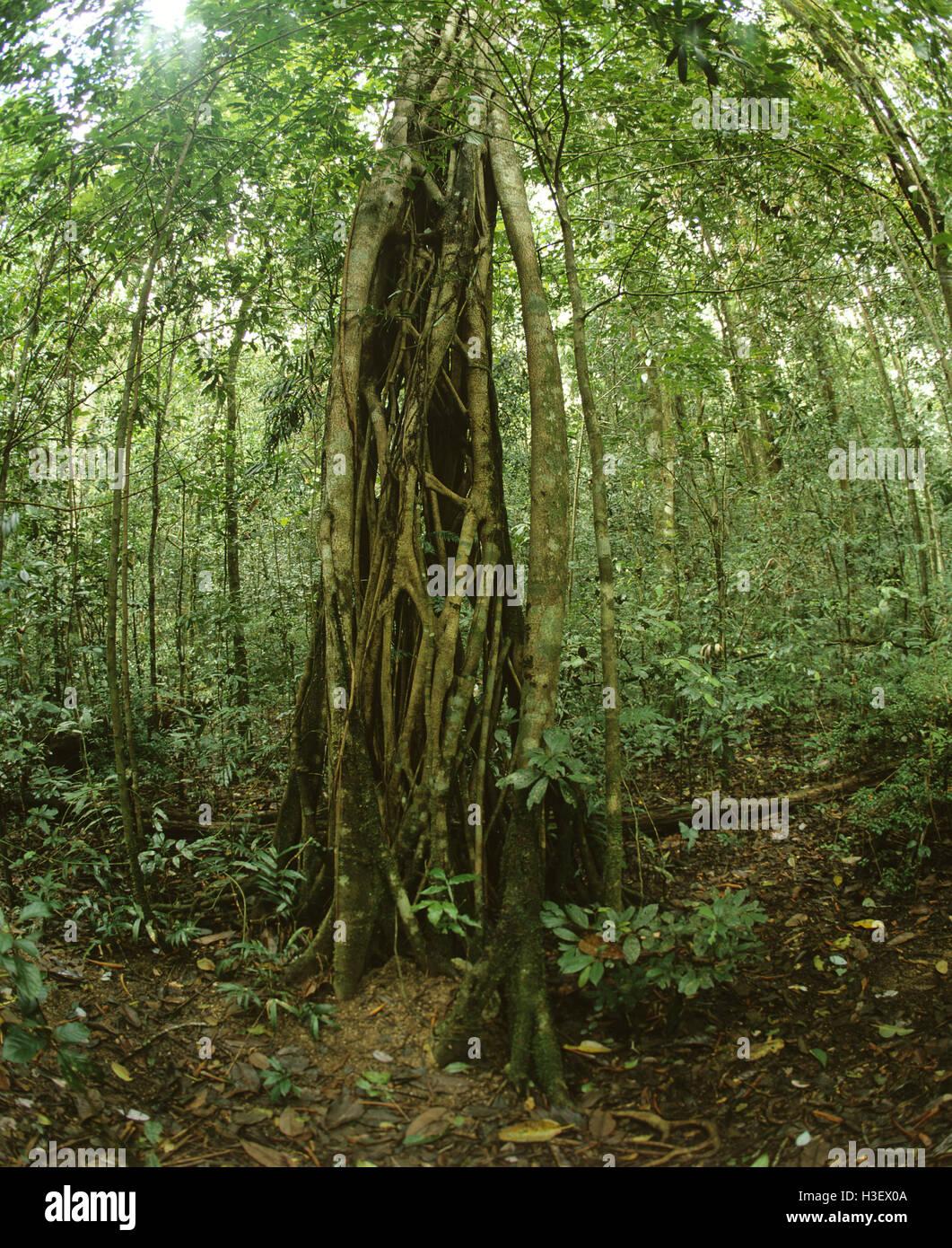 Triton's trumpet (Ficus sp.) - Stock Image