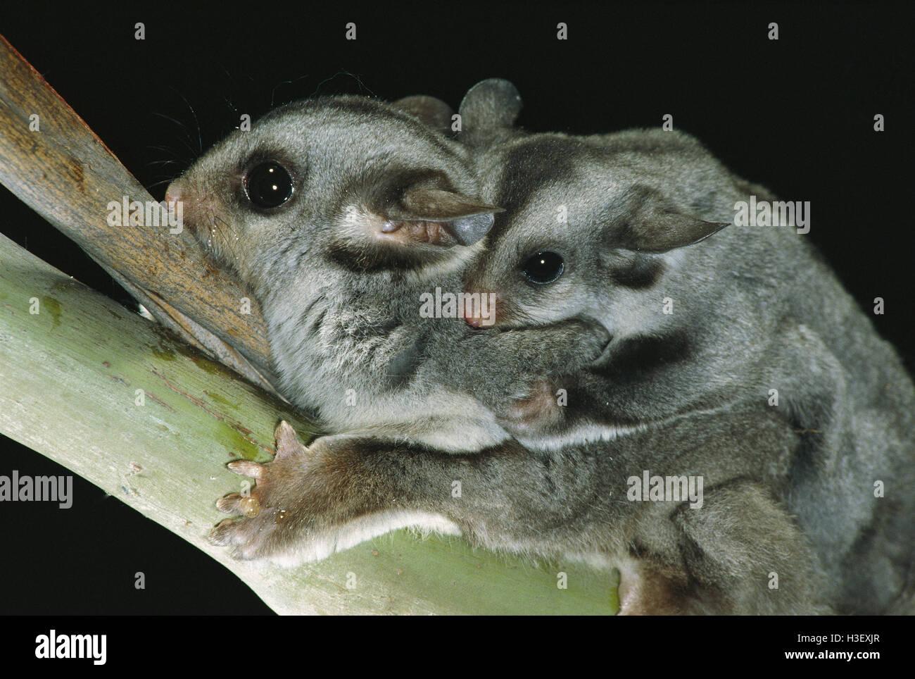Sugar glider (Petaurus breviceps) - Stock Image