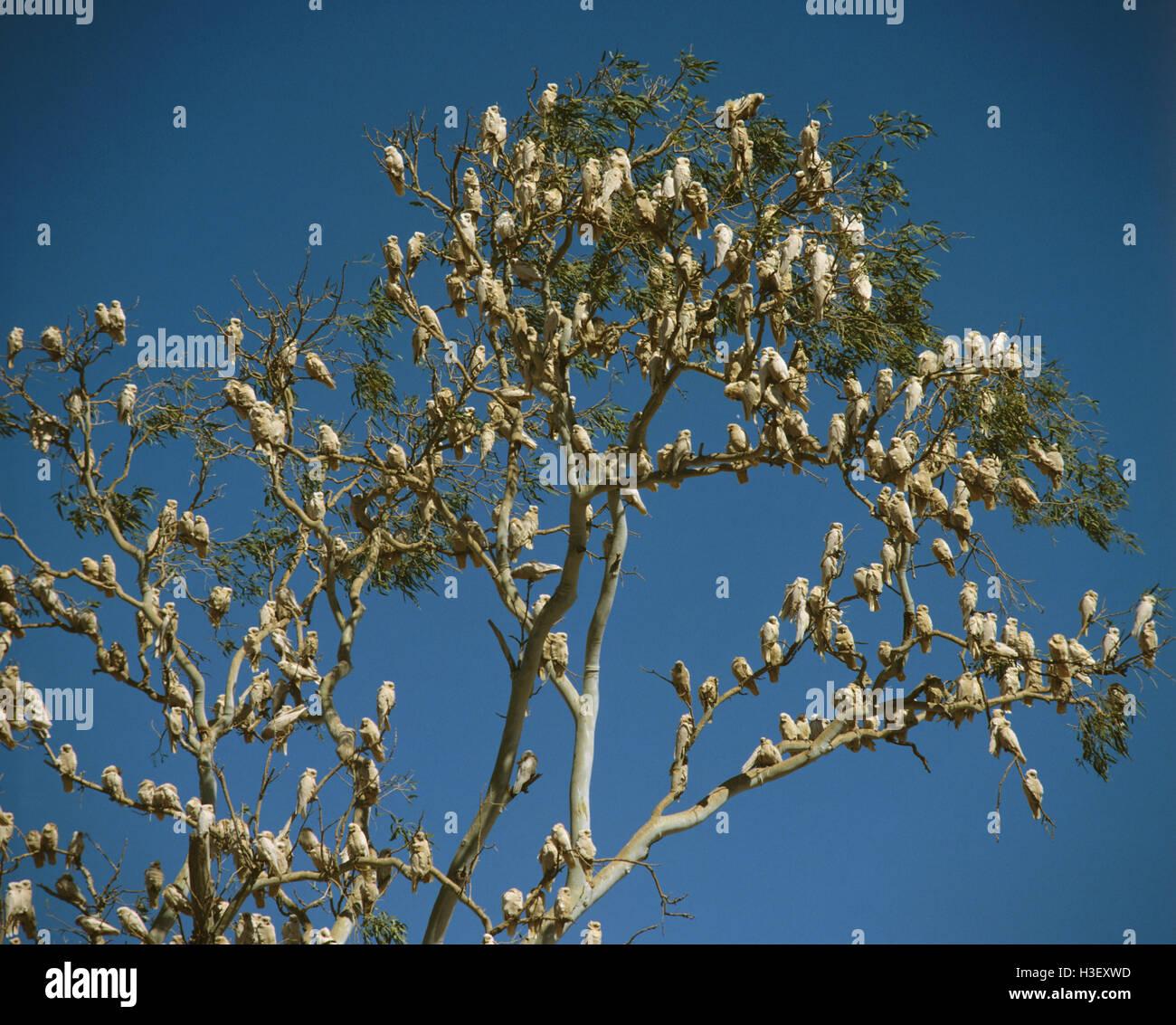 Little corella (Cacatua sanguinea) Stock Photo