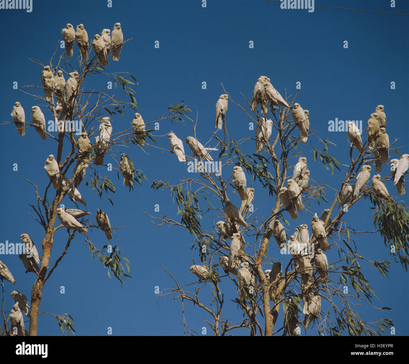 Little corella (Cacatua sanguinea) - Stock Image