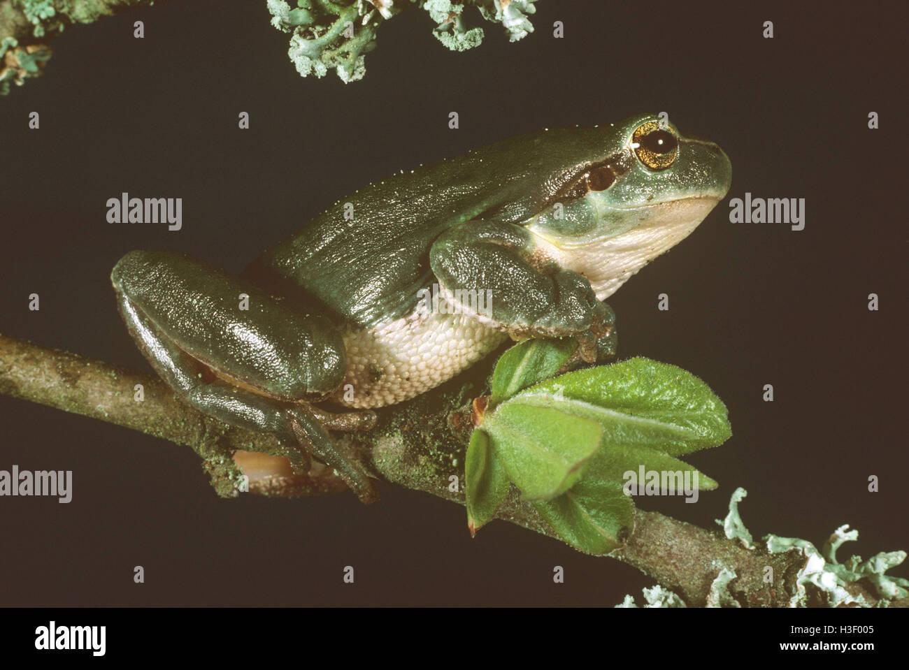European tree frog (Hyla arborea) - Stock Image