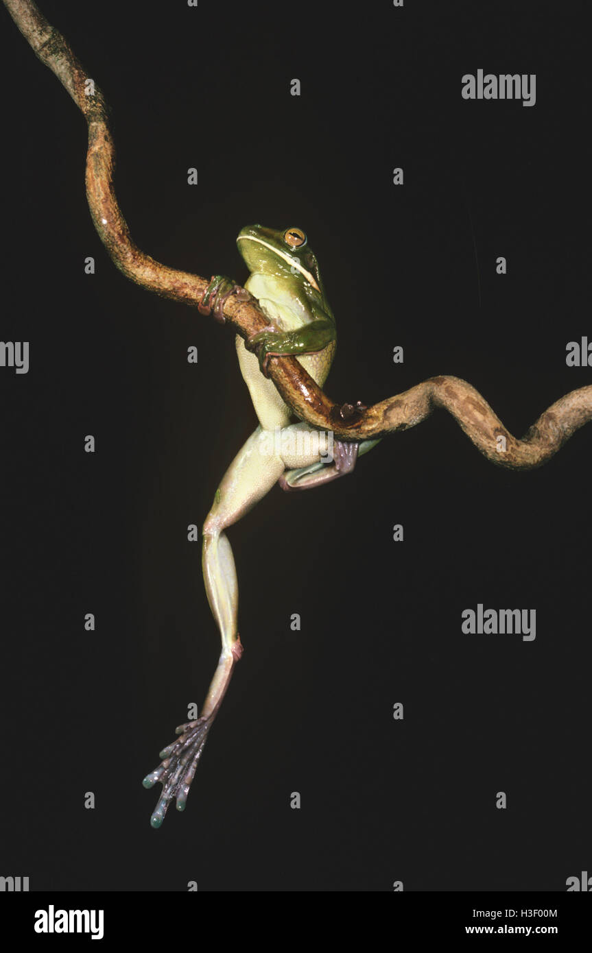 White-lipped tree frog (Litoria infrafrenata) - Stock Image