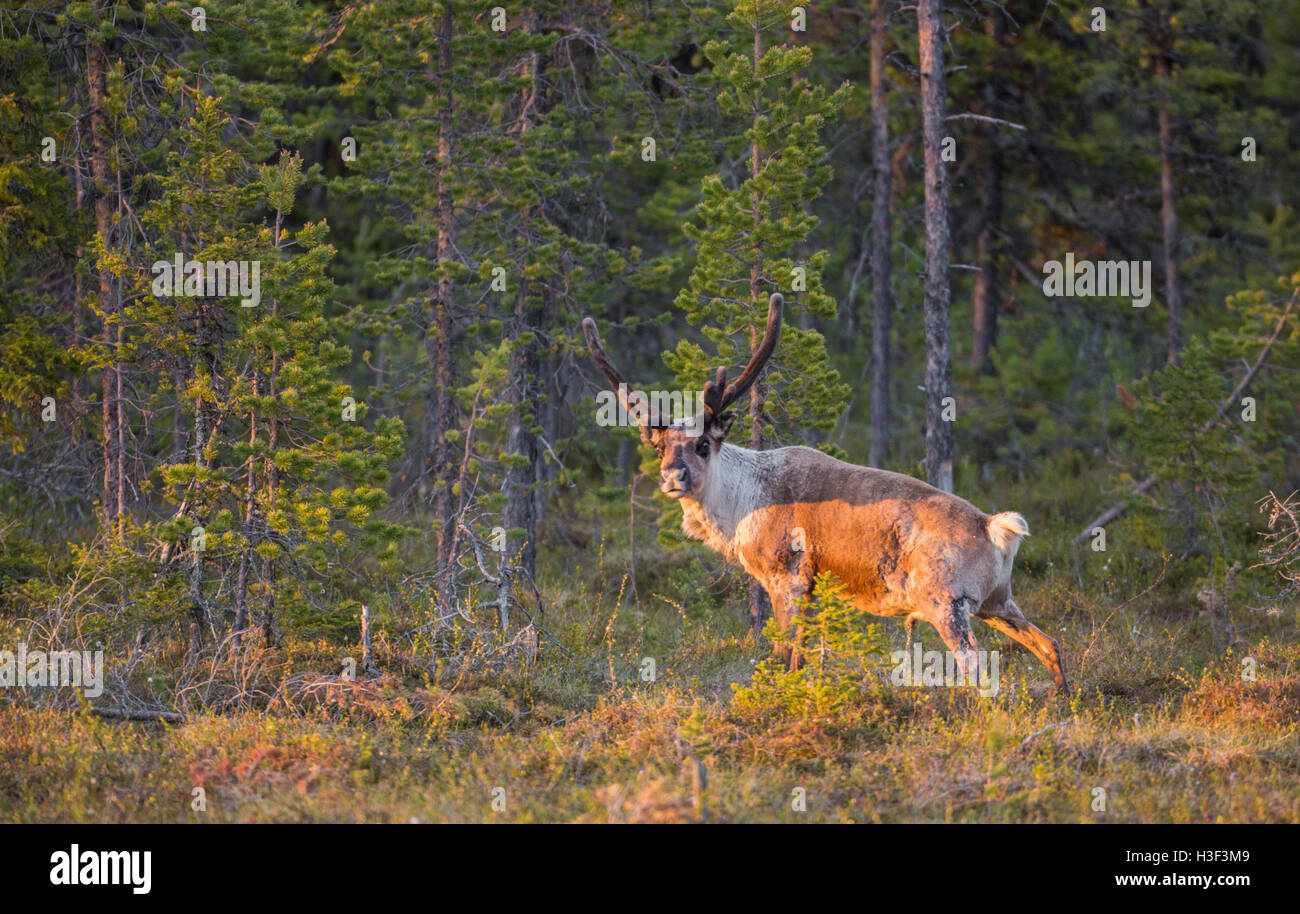 Reindeer with big antler in a forest in nice warm evening light looking in to the camera, Stora sjöfallets - Stock Image