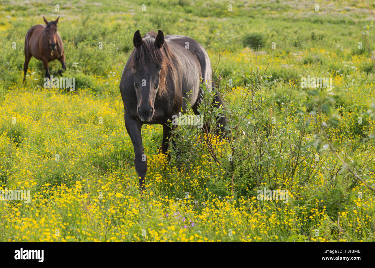 Two warm blood horses walking in a pasture ground among meadow buttercups, Norrbotten Sweden - Stock Image