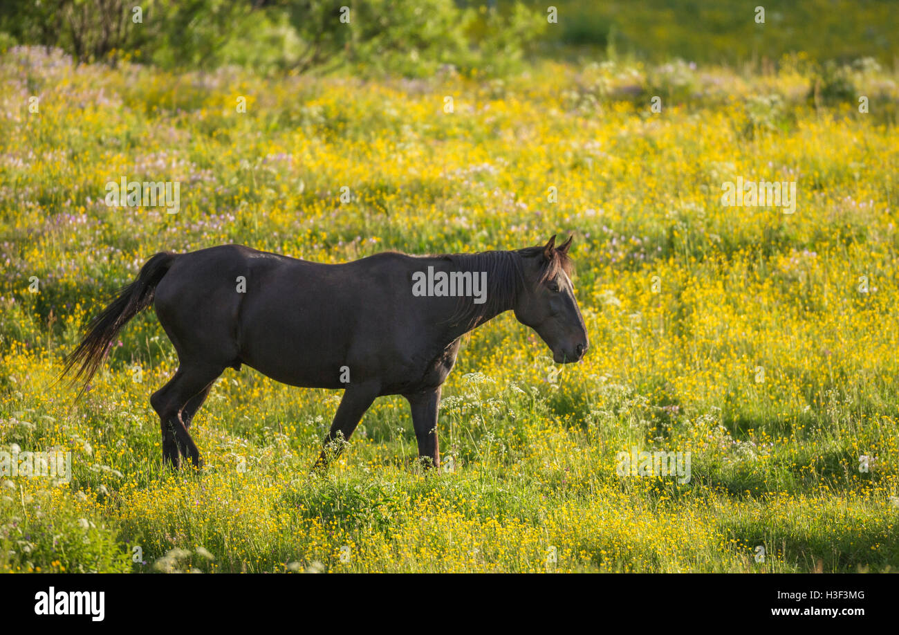 Warm blooded horse walking on a meadow with Common buttercup, Norrbotten, Sweden - Stock Image