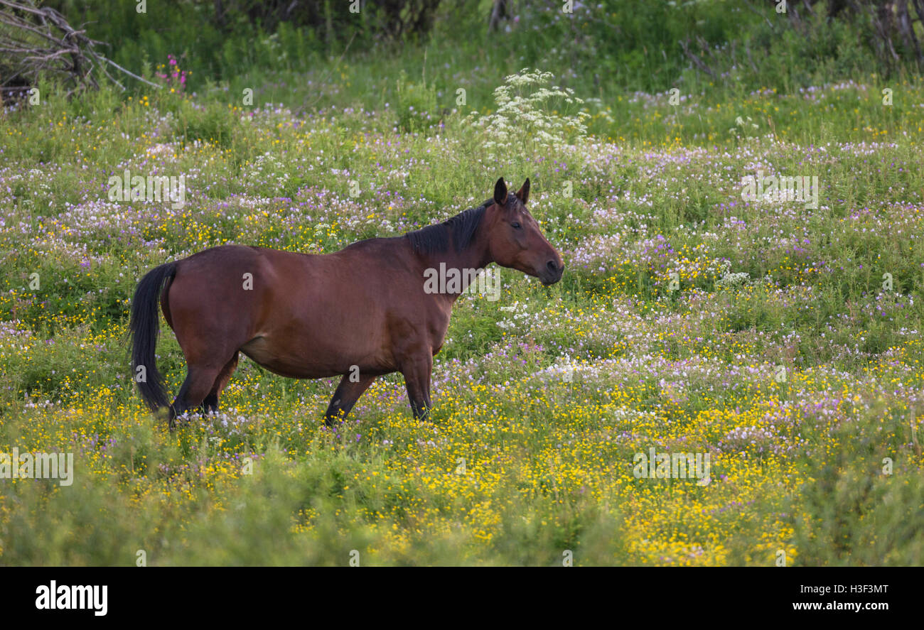 Warm blooded horse walking on a meadow with Common buttercup, wild chervil or cow parsley, Norrbotten, Sweden - Stock Image