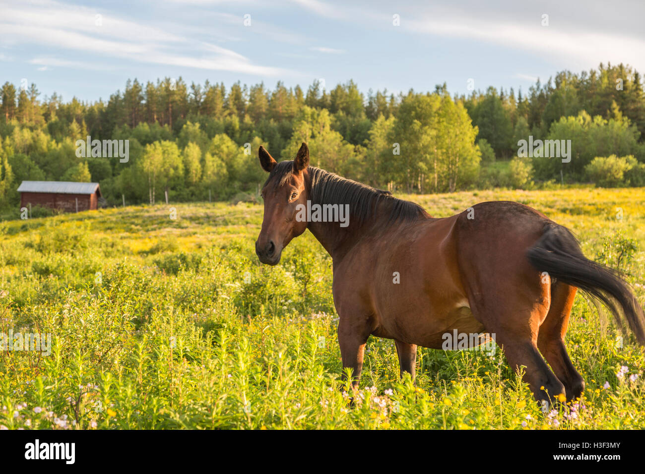 Warm blood horse in pasture ground in nice warm evening light looking towards camera, Norrbotten, Sweden - Stock Image