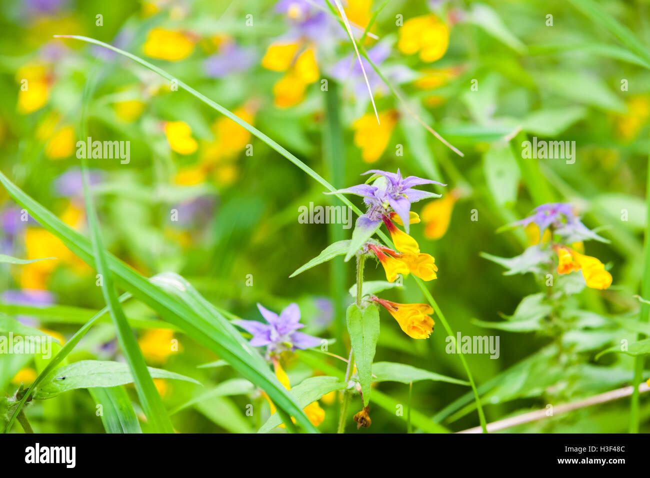 Bright Yellow And Blue Flowers Melampyrum Nemorosum Known As Night