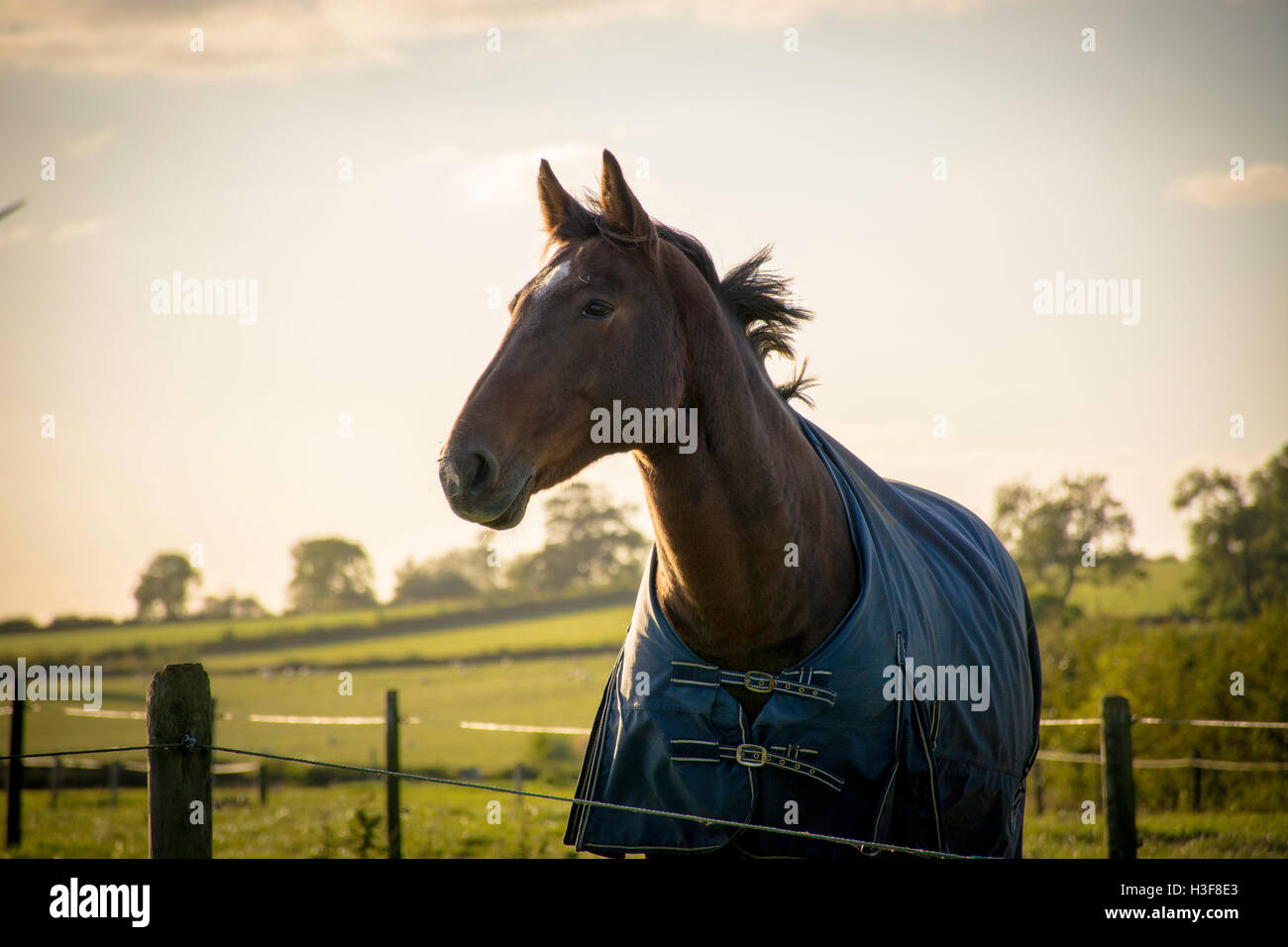 bay horse wearing blue rug - Stock Image