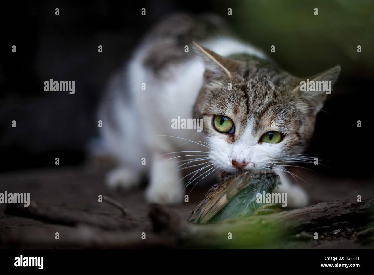 Cat predator Stock Photo