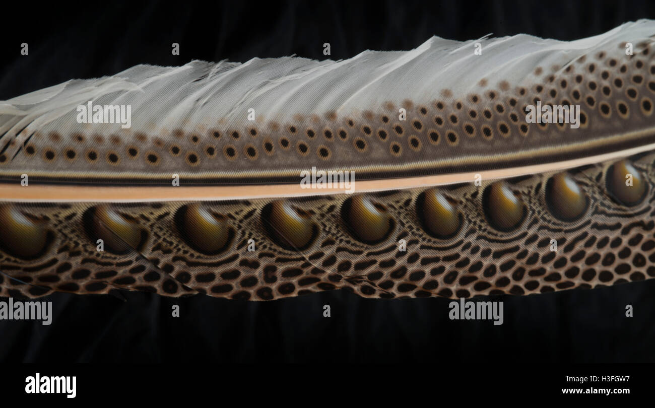 Right secondary feather of male Argus Pheasant, Argusianus argus. - Stock Image