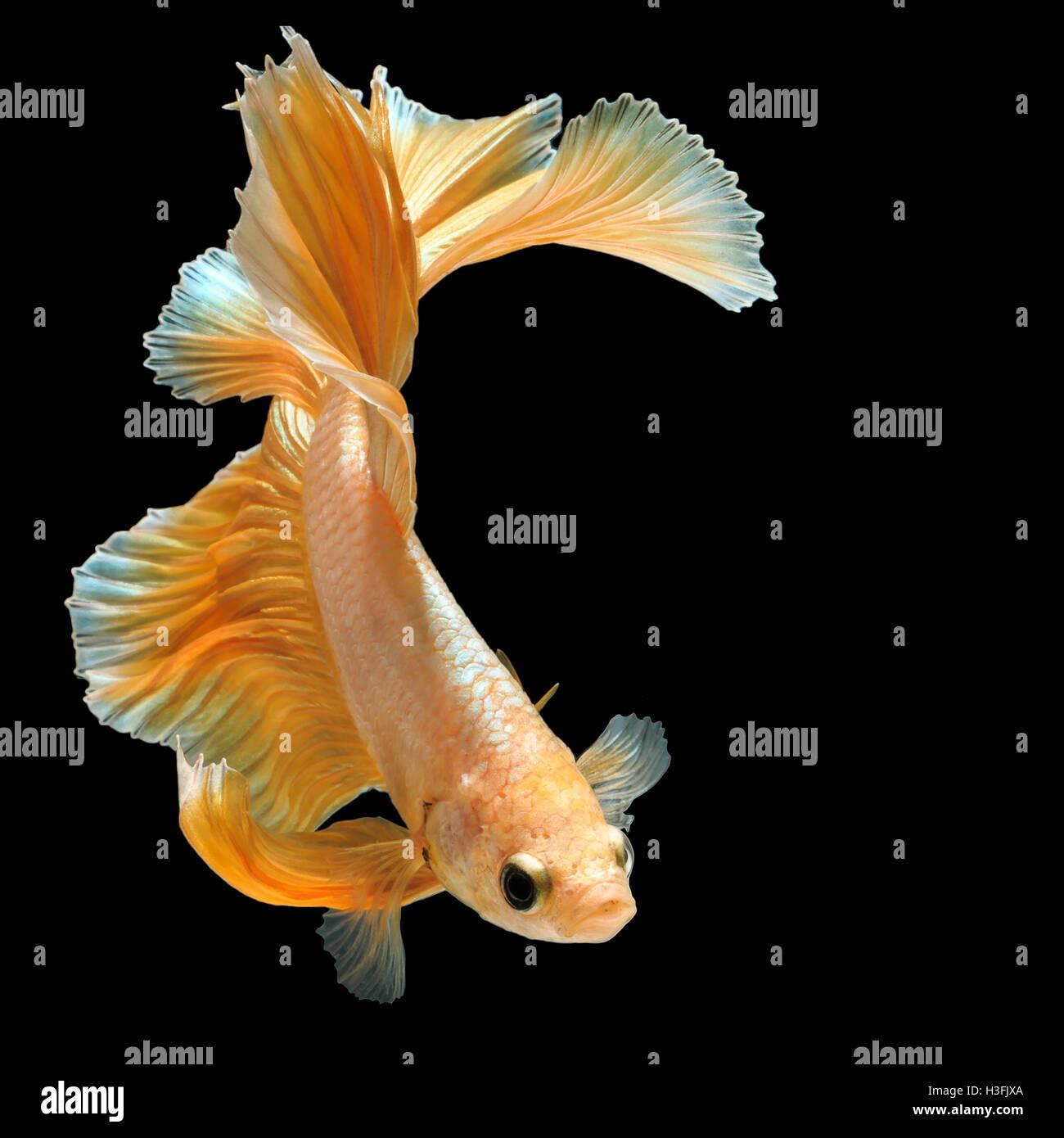 Betta fish, siamese fighting fish 'gold half moon' isolated on black background beautiful movement macro - Stock Image