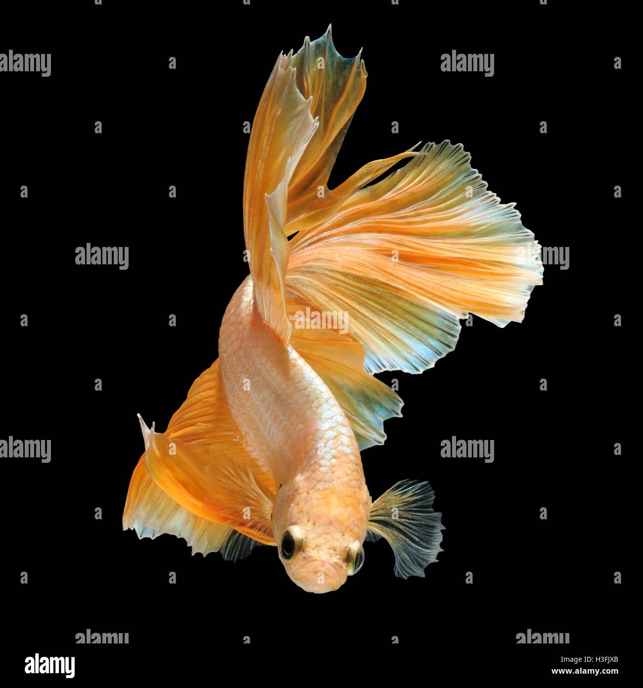 Gold dragon fish roblox dragon ball super 2 golden freeza mission