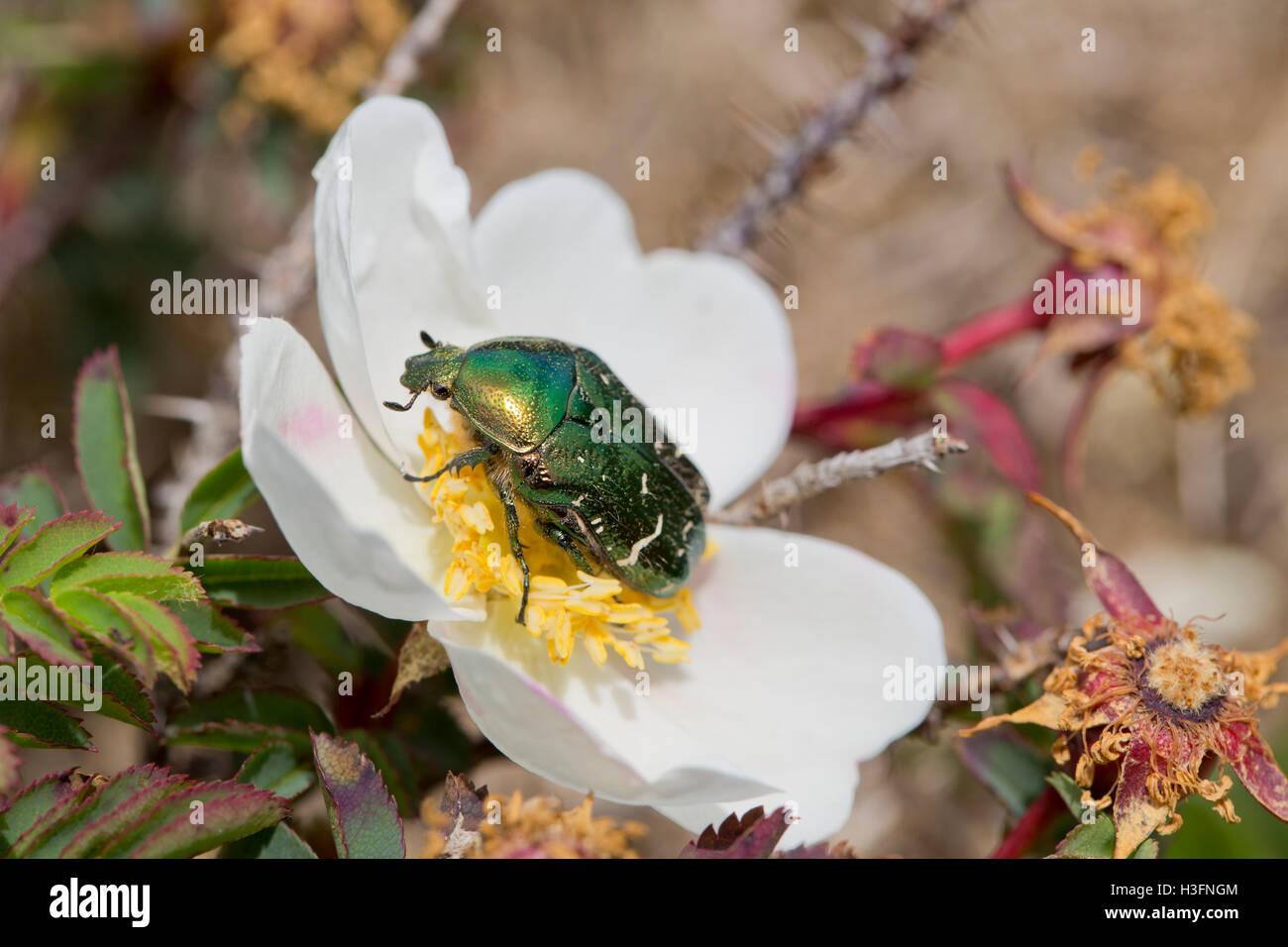 Rose Chafer Beetle; Cetonia aurata Single on Rose Cornwall; UK - Stock Image