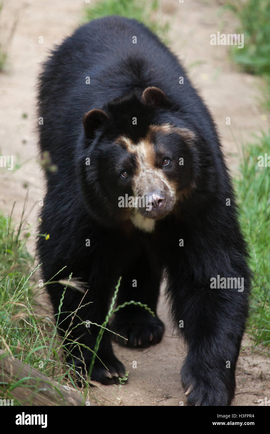 Spectacled bear (Tremarctos ornatus), also known as the Andean bear at Doue-la-Fontaine Zoo in Maine-et-Loire, France. Stock Photo
