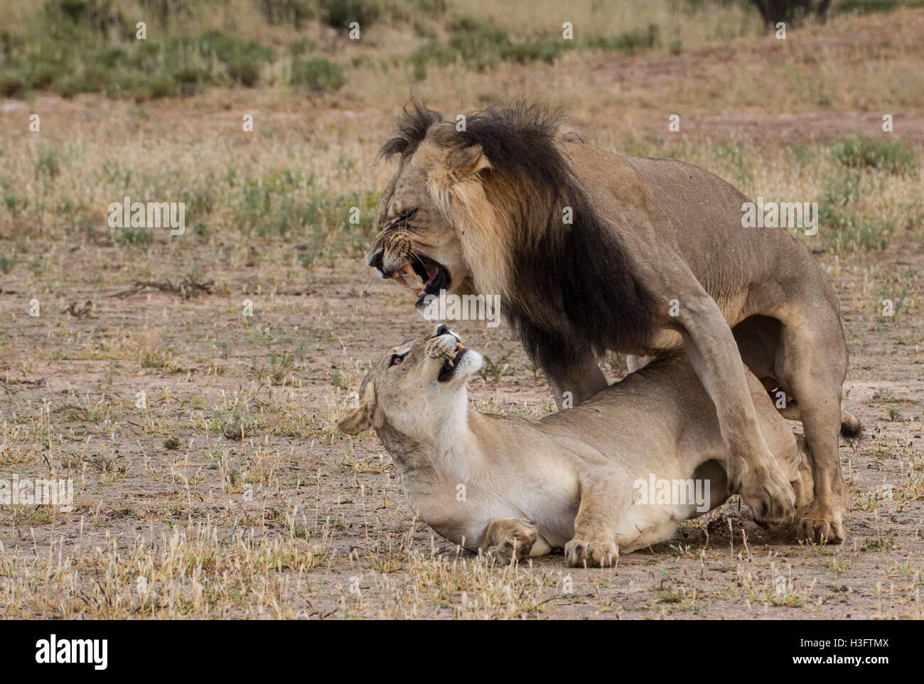 Two lions mating - Stock Image
