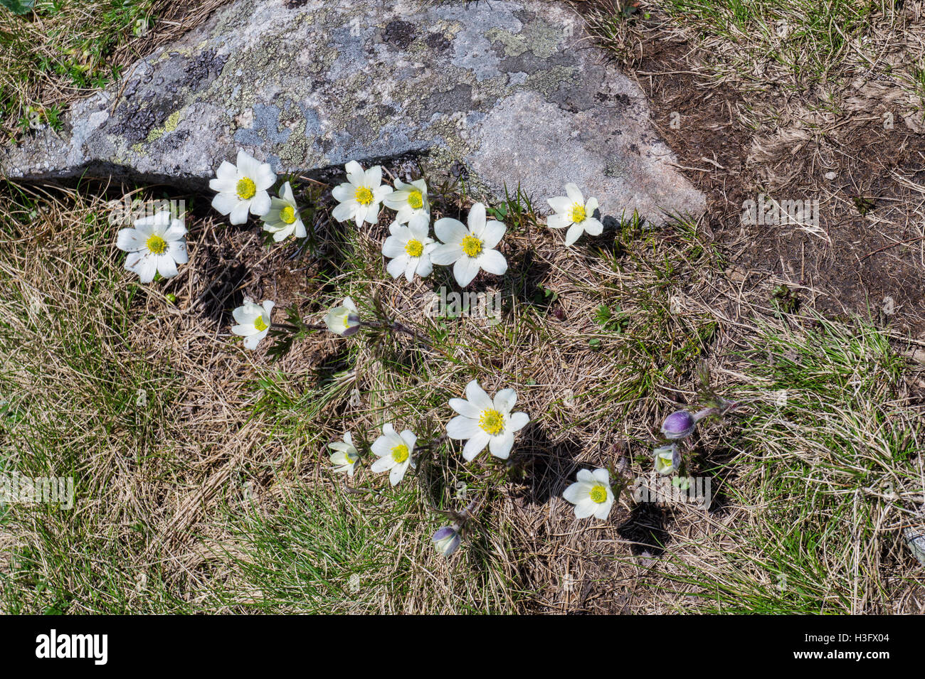 White Mountain Flowers Grow On The Tourist Route In The Mountains Of