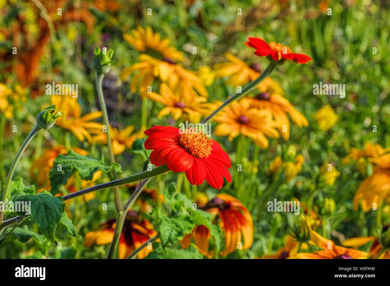 Mexikanische Sonnenblume oder Tithonia rotundifolia -  Mexican sunflower or Tithonia rotundifolia in summer - Stock Image