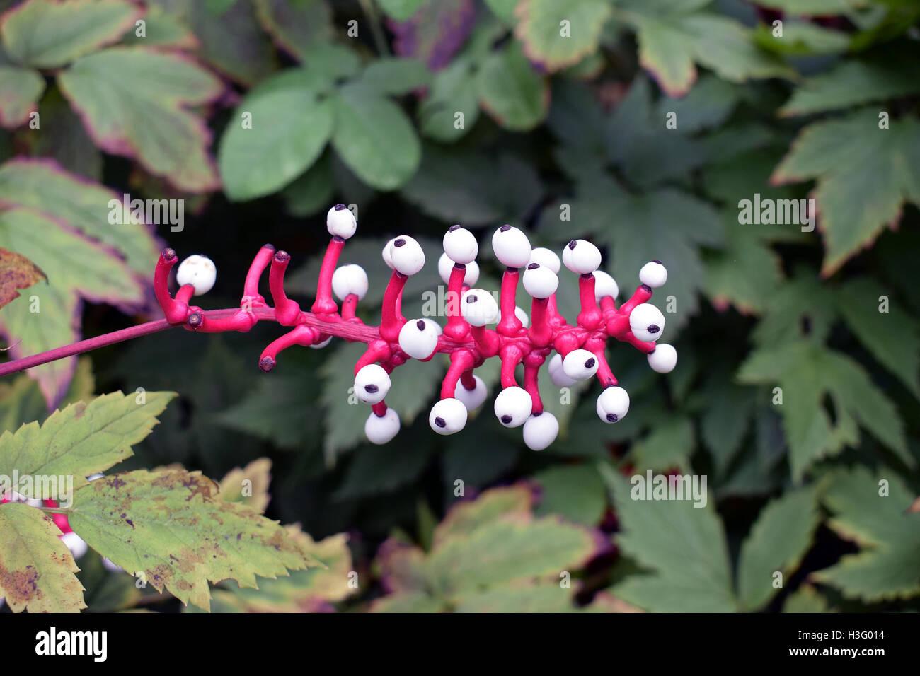 White baneberry (Actaea Alba) also known as White Doll's Eyes. - Stock Image