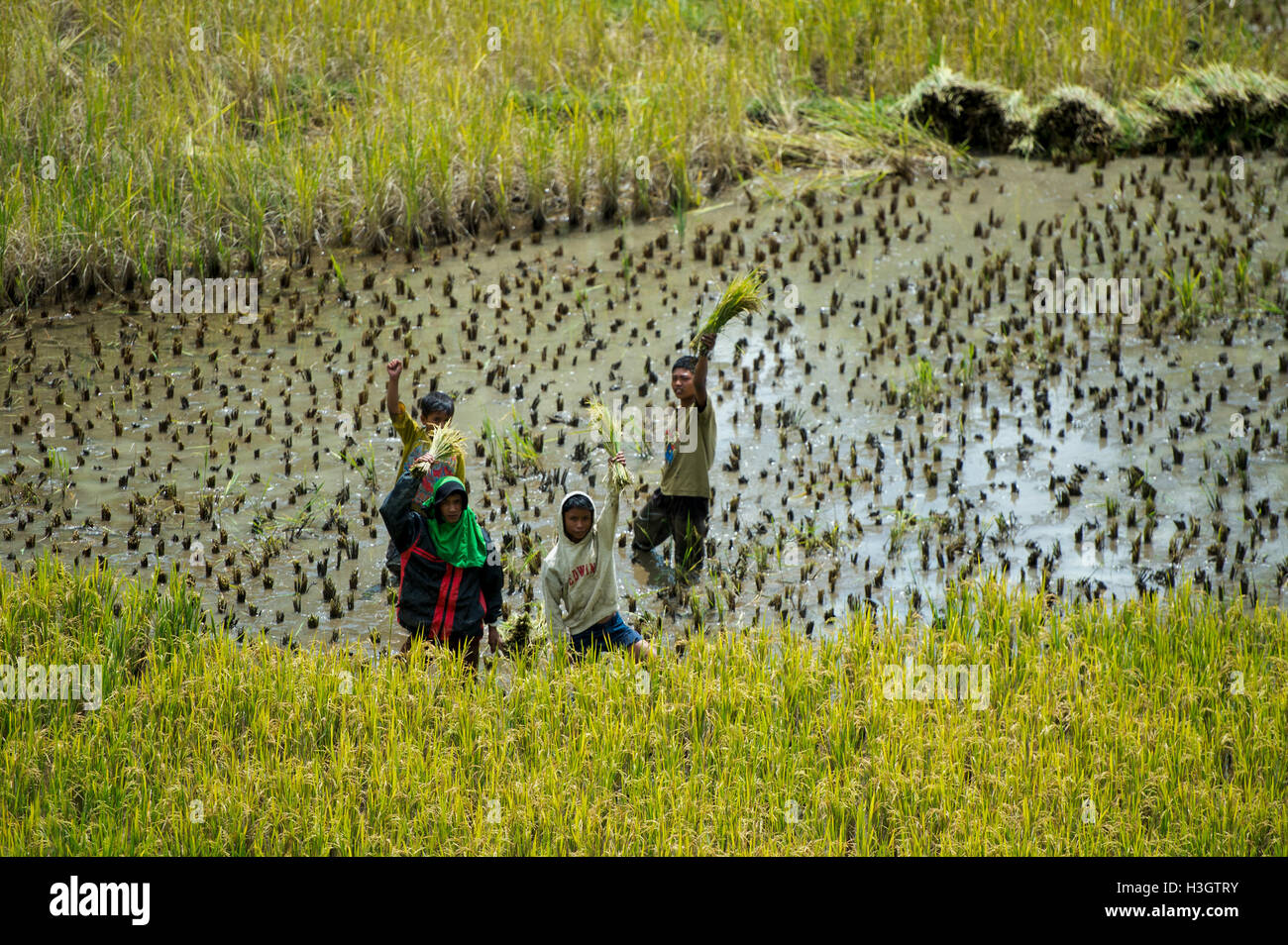 Local farmers and villagers harvesting a rice in paddy field at Ba'Tan Pangala - Stock Image