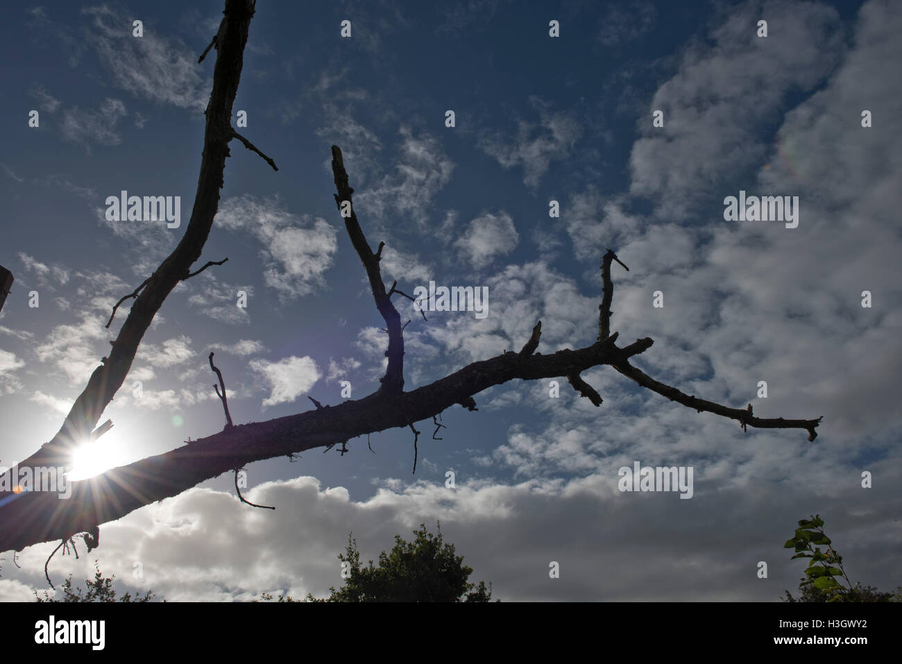 Silhouette of a fallen branch on an old oak tree, sun behind with blue sky and light fluffy clouds, Berkshire, October - Stock Image