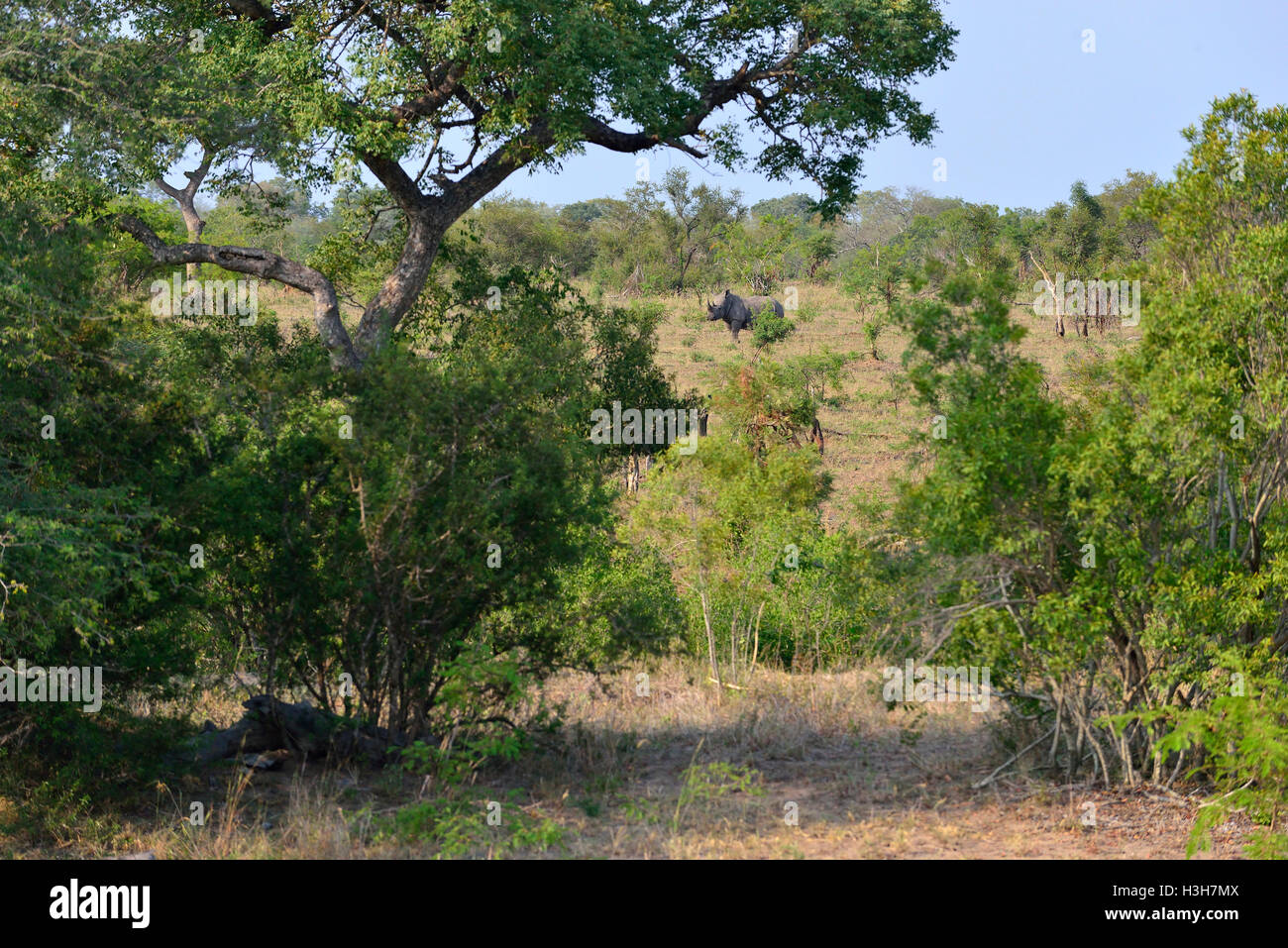 White  rhinoceros note is actually grey . Kruger National Park (KNP) in the typical scrub land  around  Lower Sabie - Stock Image