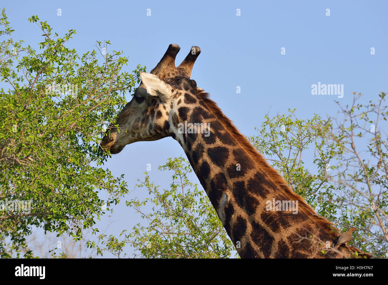 Giraffe grazing on the tall trees near  Sukuza rest Camp Rest Camp , Kruger Park, South Africa - Stock Image
