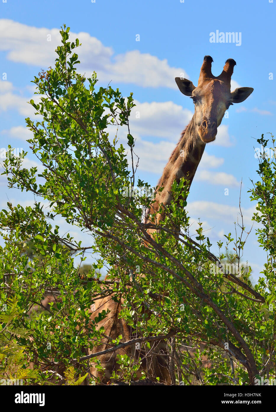 Giraffe grazing on the tall trees near  Sukuza Rest Camp , Kruger Park, South Africa - Stock Image