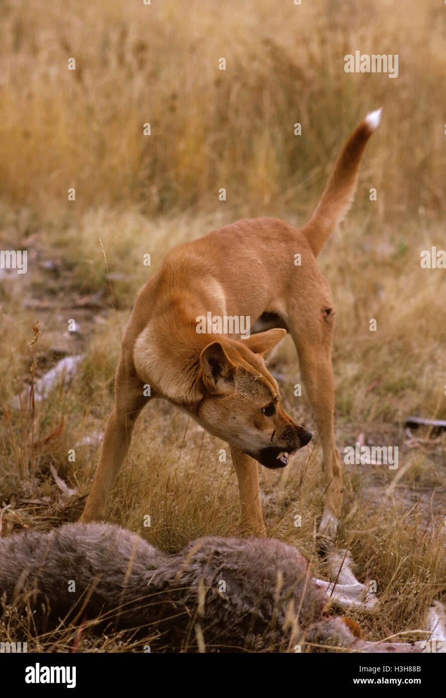 Dingo (Canis dingo) - Stock Image