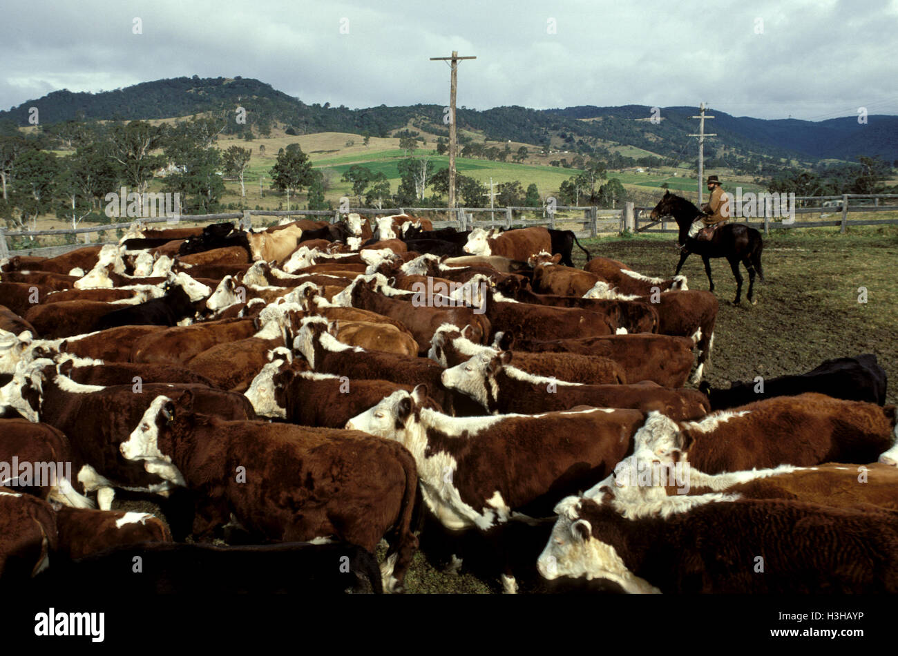 Cattle being mustered, - Stock Image