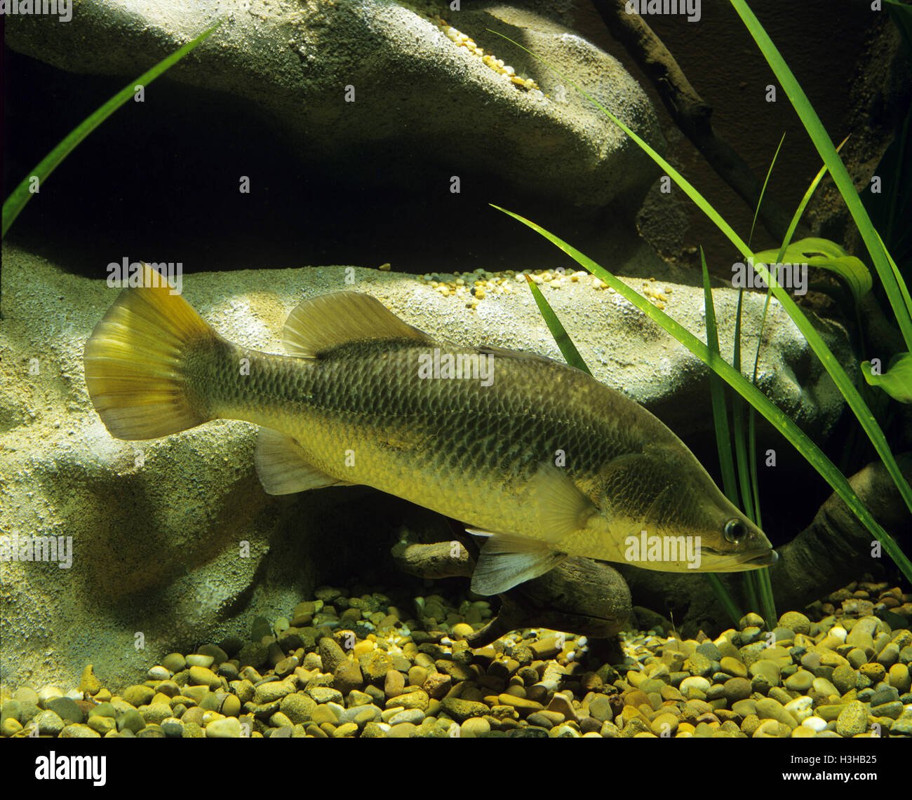 Barramundi (Lates calcarifer) Stock Photo