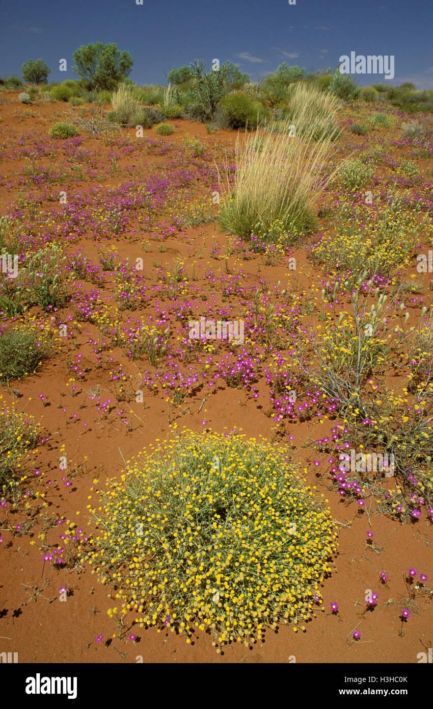Australian desert in bloom, - Stock Image