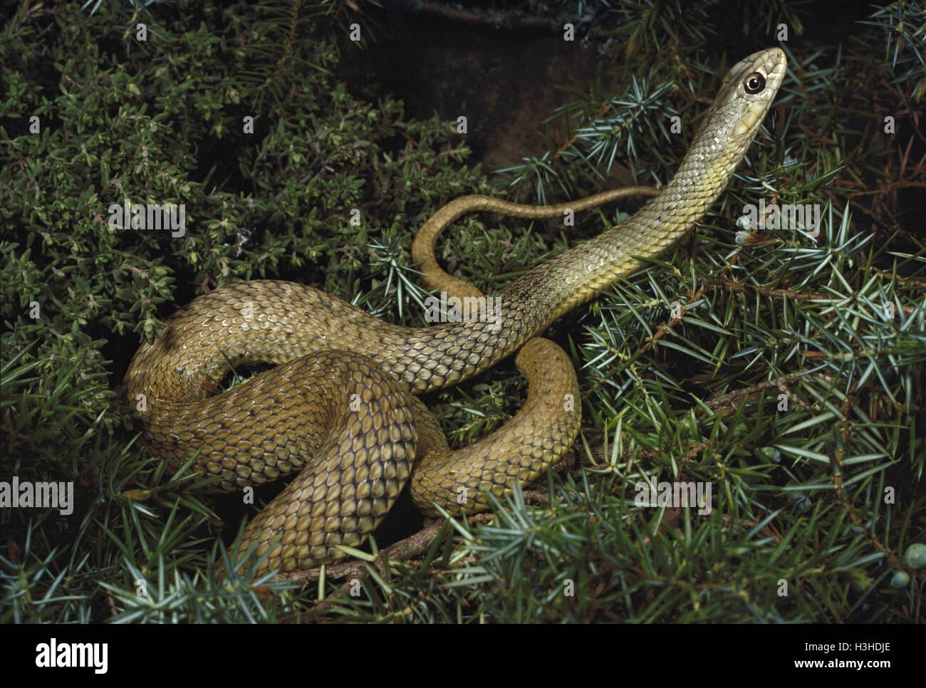 Montpellier snake (Malpolon monspessulanus) - Stock Image
