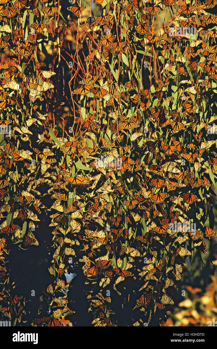 Monarch or Wanderer butterflies (Danaus plexippus plexippus) - Stock Image