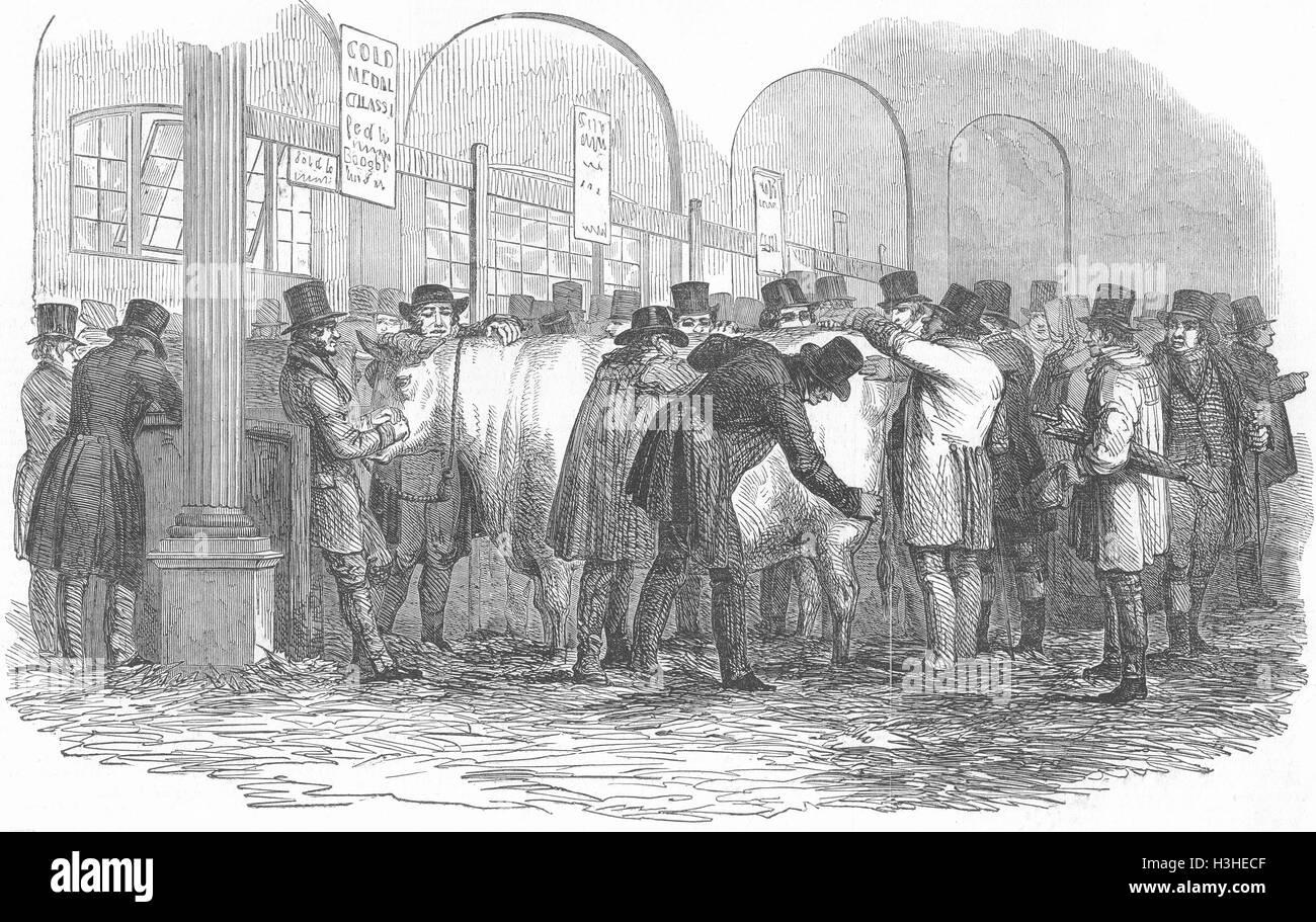 LONDON Smithfield cows show 1848. Illustrated London News - Stock Image