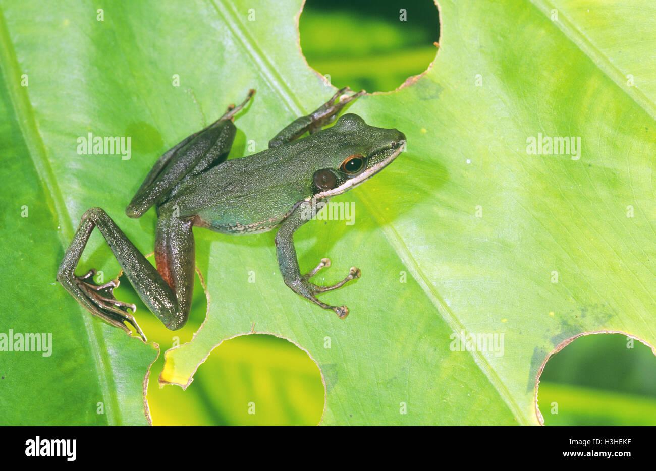 White-lipped frog (Hylarana raniceps) - Stock Image