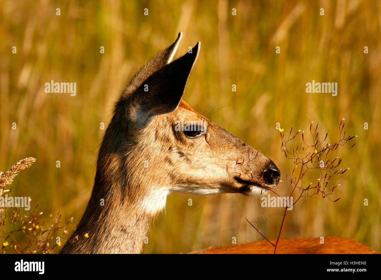 Black Tail Deer, Odocoileus hemionus in Vancouver island. British Columbia. Canada - Stock Image