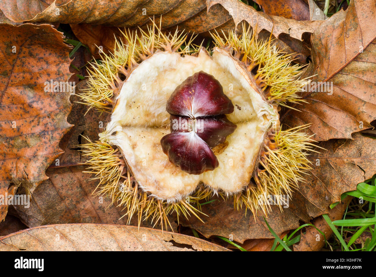 horse chestnut (Aesculus hippocastanum) or conker seed in capsule on floor leaf litter in forest, Norfolk, England, Stock Photo