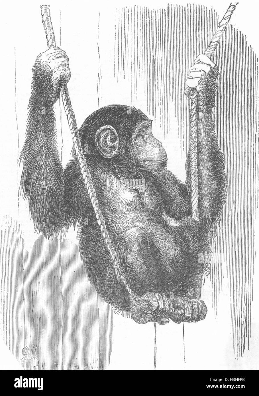 CHIMPS Chimpanzee 1852. Illustrated London News - Stock Image