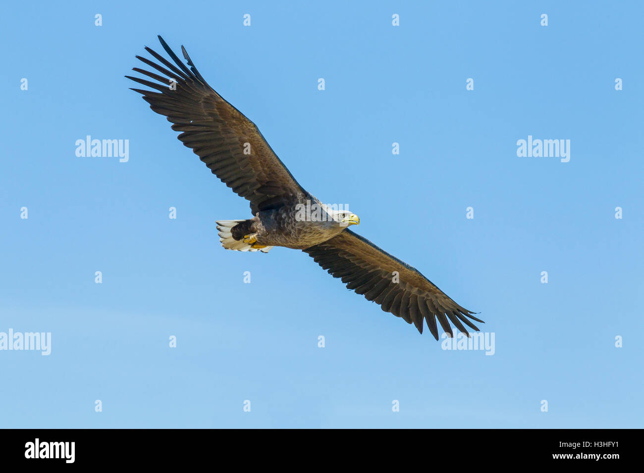 white-tailed sea eagle (Haliaeetus albicilla) adult in flight against blue sky, Norway Stock Photo