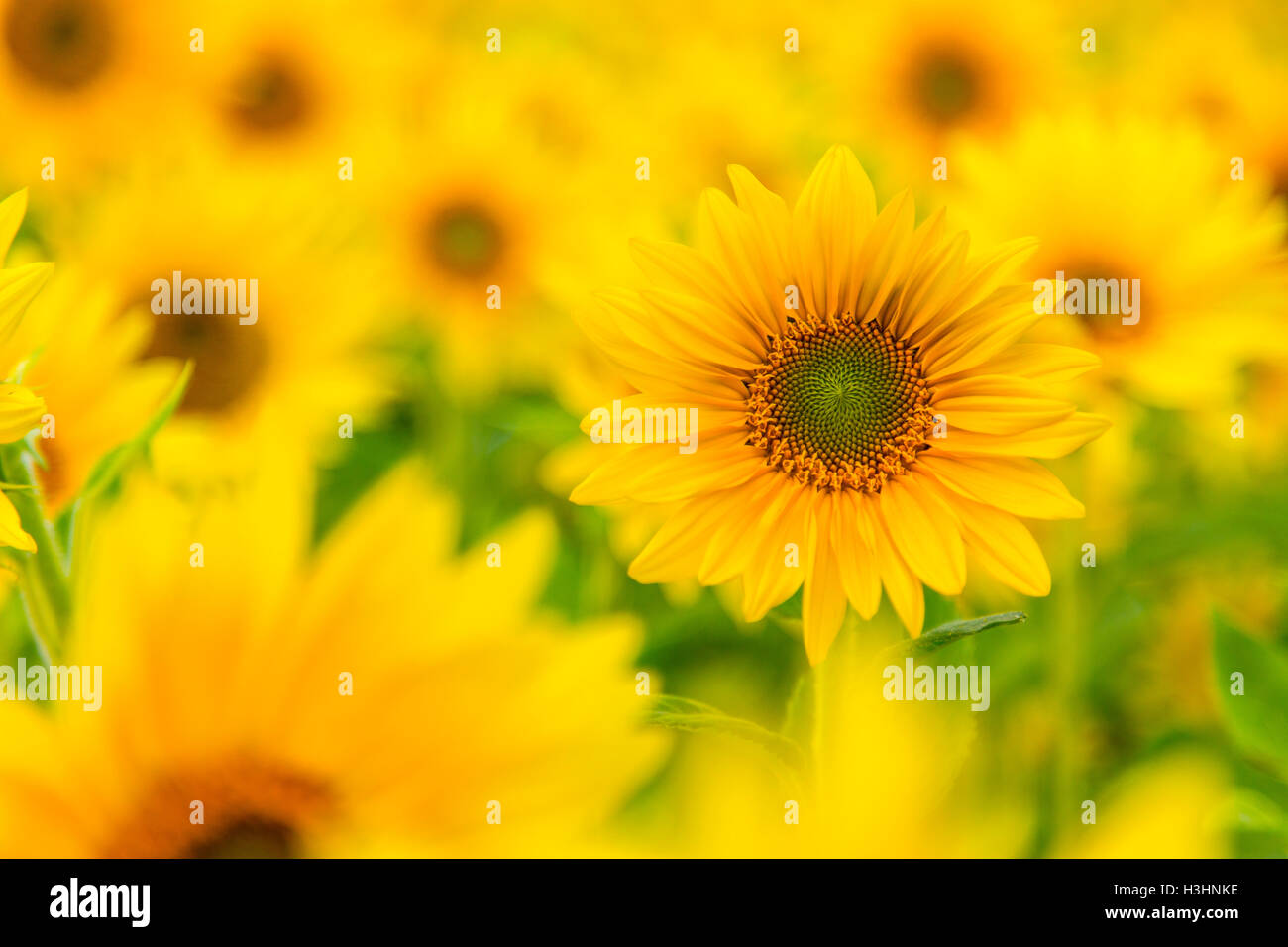 Field of sunflowers, many plants, yellow, - Stock Image