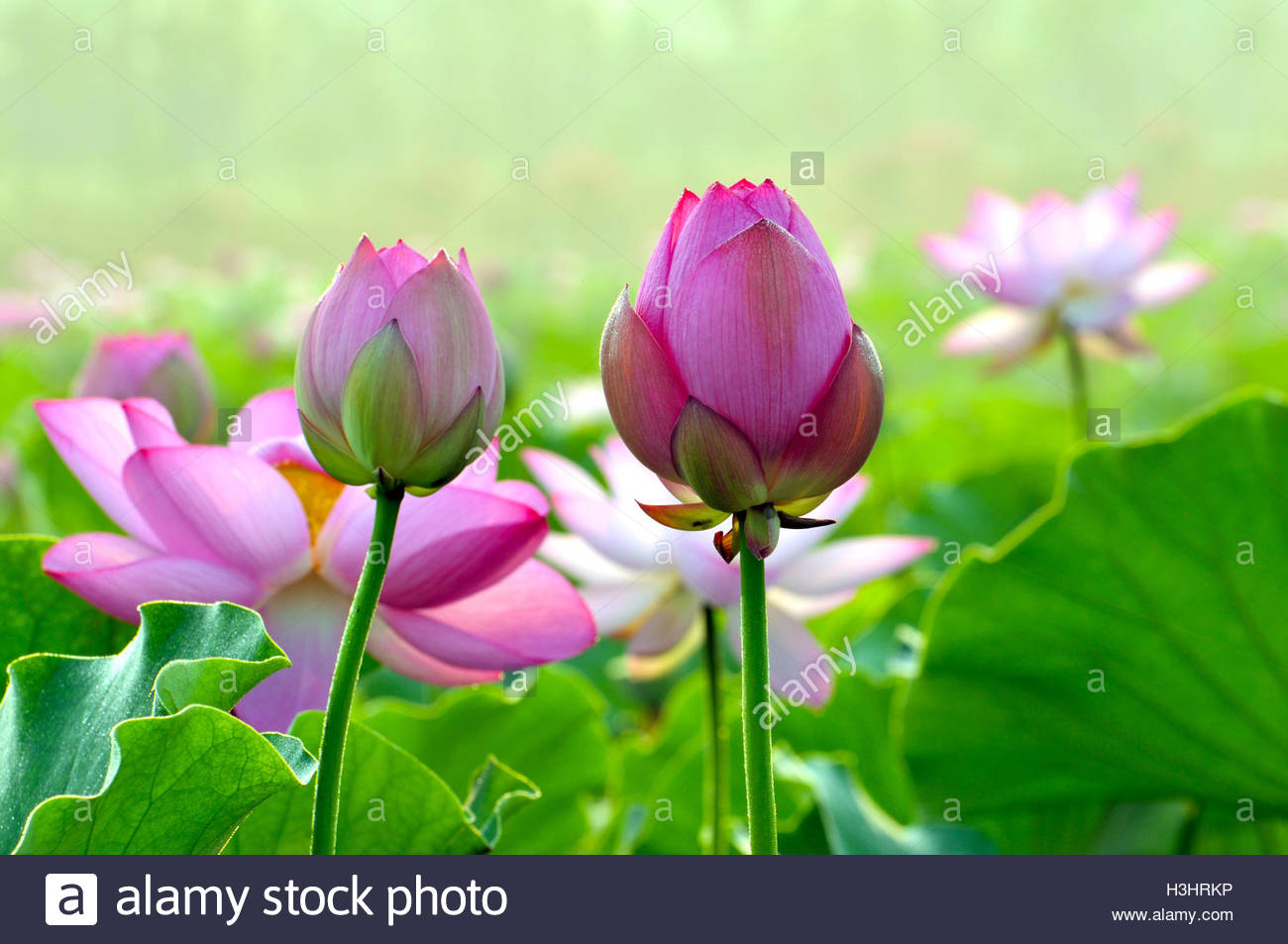 Lotus flower buds stock photos lotus flower buds stock images alamy lotus flower buds in sunset stock image izmirmasajfo