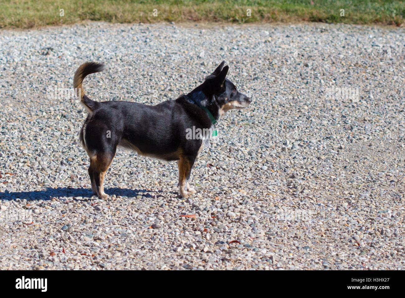 An alert black dog (corgi mix) - Stock Image
