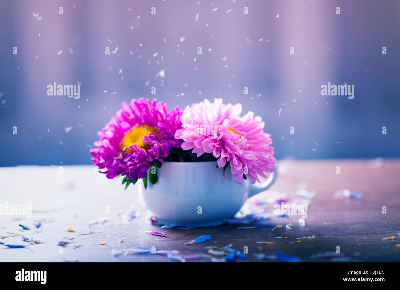 Aster flowers in pot and falling petals - autumn concept - Stock Image