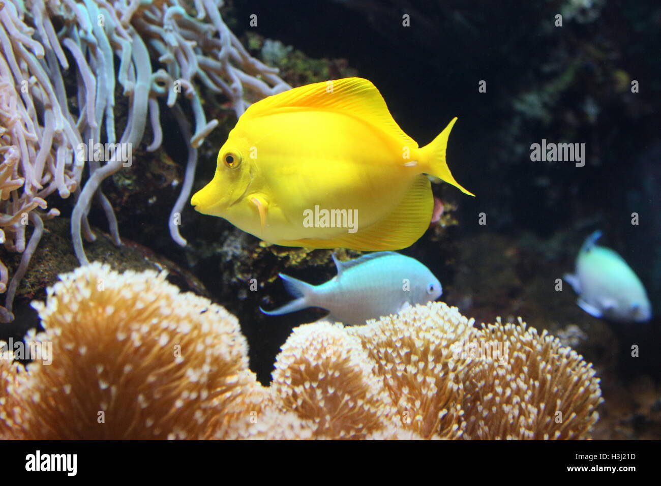 Yellow Tang Surgeonfish (Zebrasoma flavescens), native to the Indian Ocean & Pacific - Stock Image