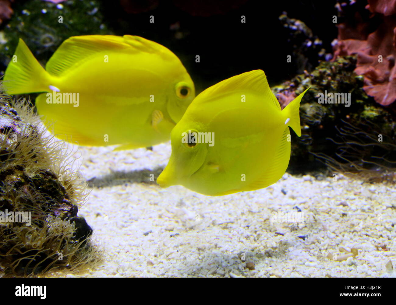 Pair of Yellow Tang Surgeonfishes (Zebrasoma flavescens), native to the Indian Ocean & Pacific - Stock Image
