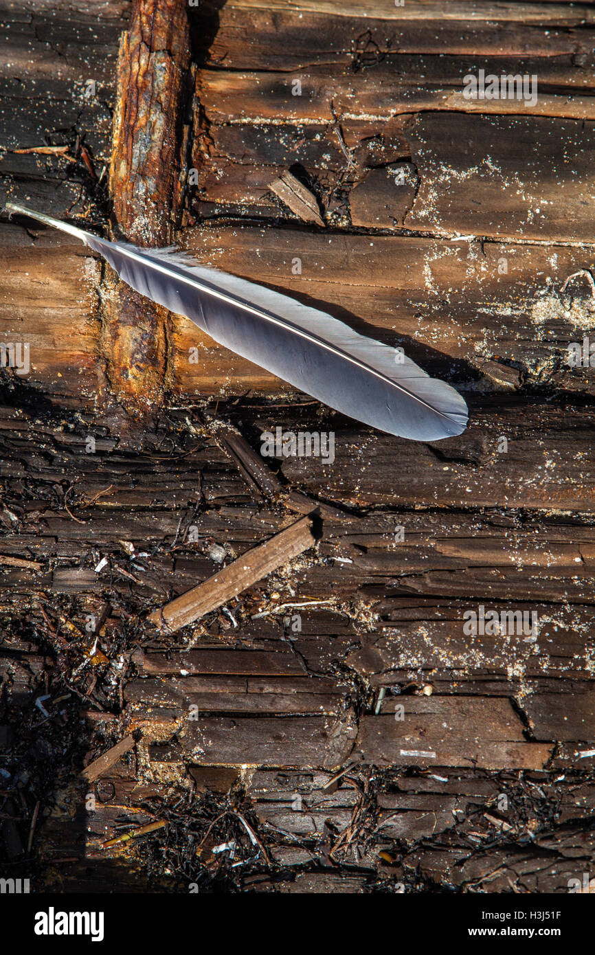 The feather of a gull has fallen onto the weathered wood beam of Hillsboro Inlet jetty contrasting color and textures. - Stock Image