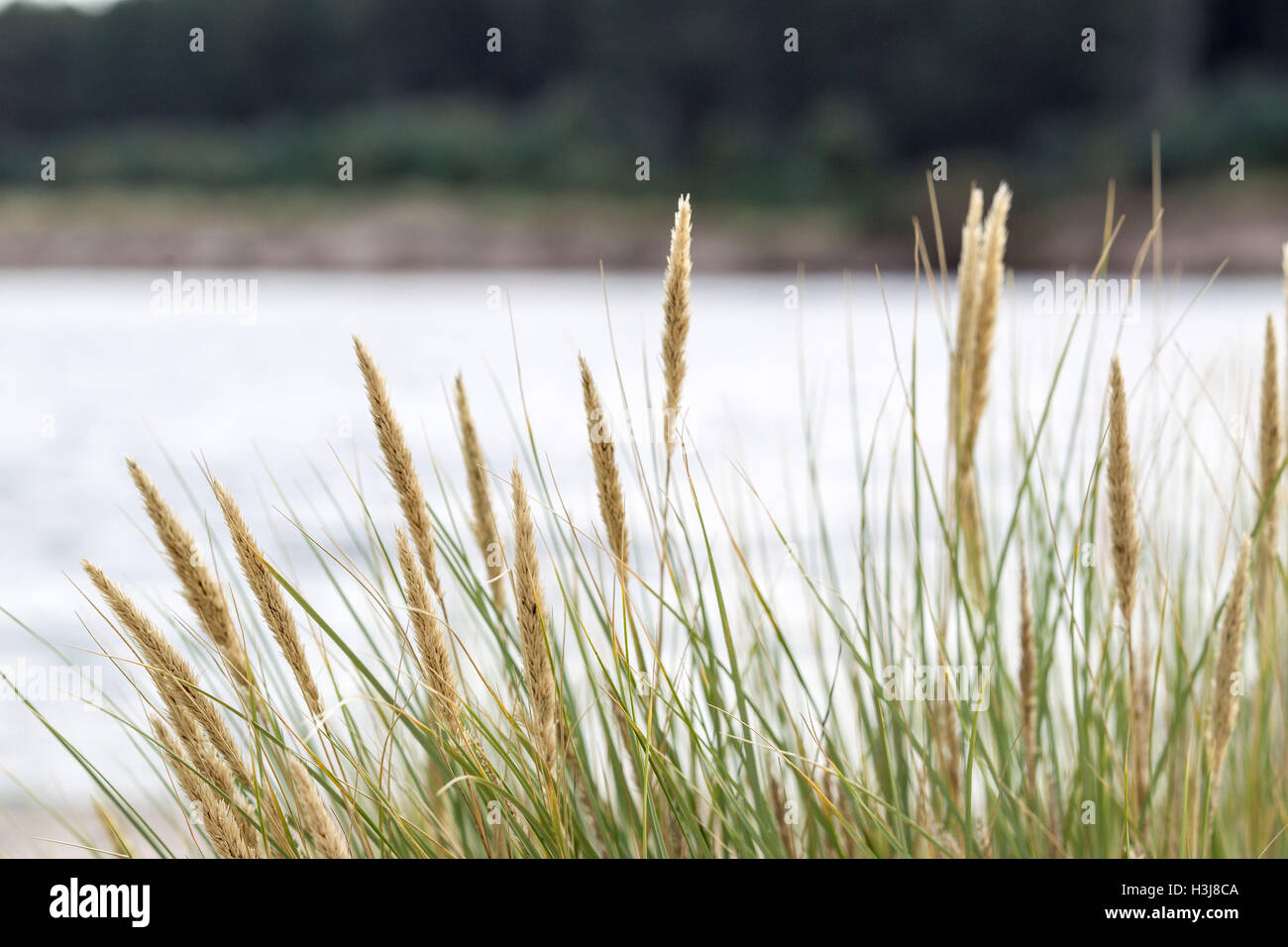 Grass blowing in the wind on Findhorn Beach - Stock Image